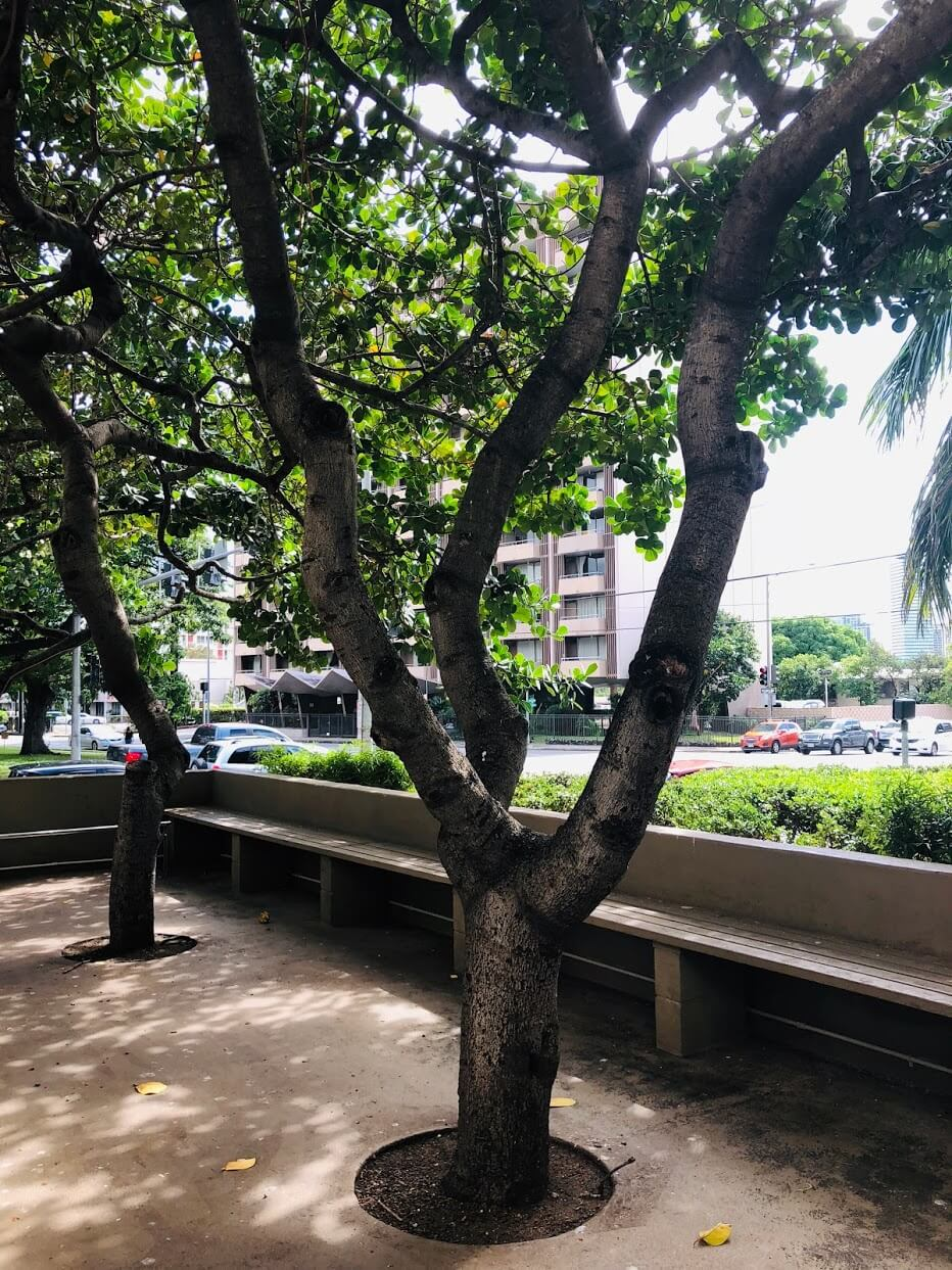 Banyan Tree Plaza 1212の街路樹